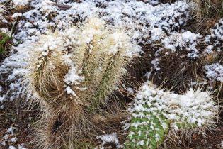 Snow on cacti in Mohave Desert Arizona in December