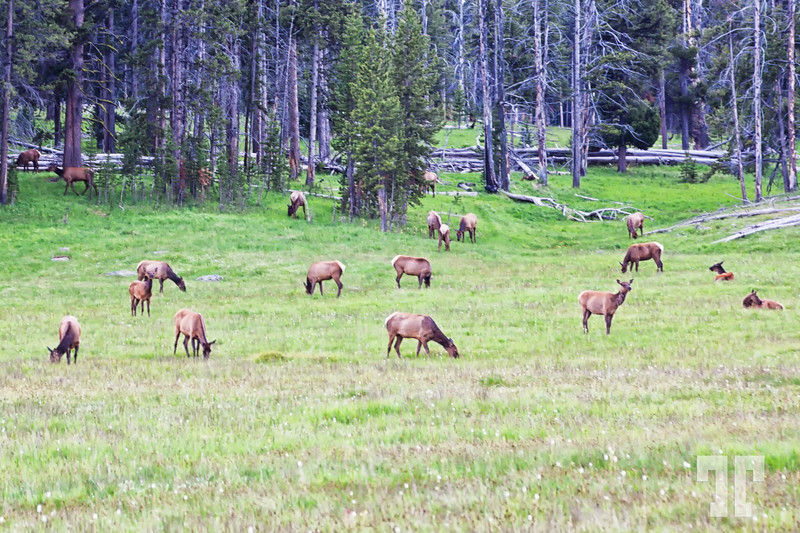Wildlife in Yellowstone Park