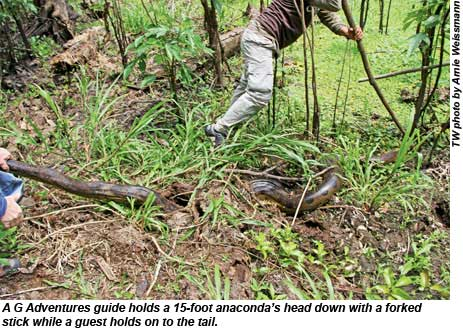 A G Adventures guide holds a 15-foot anacondas head down with a forked stick while a guest holds on to the tail.