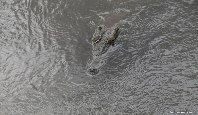 Kruger Croc