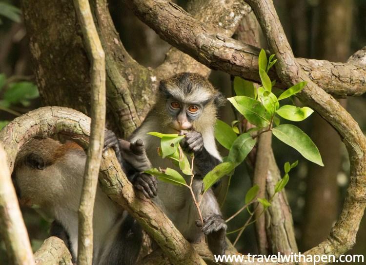 Lekki Conservation Center Monkey