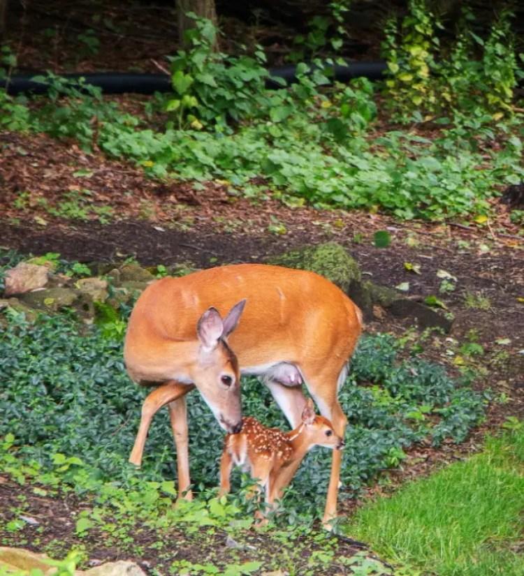 New_Jersey_Deers