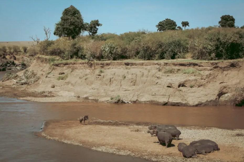 Masai-Mara-Hippos-and-Wildebeest