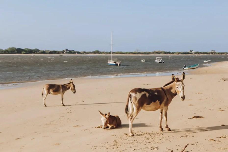 Donkeys on the Beach Lamu