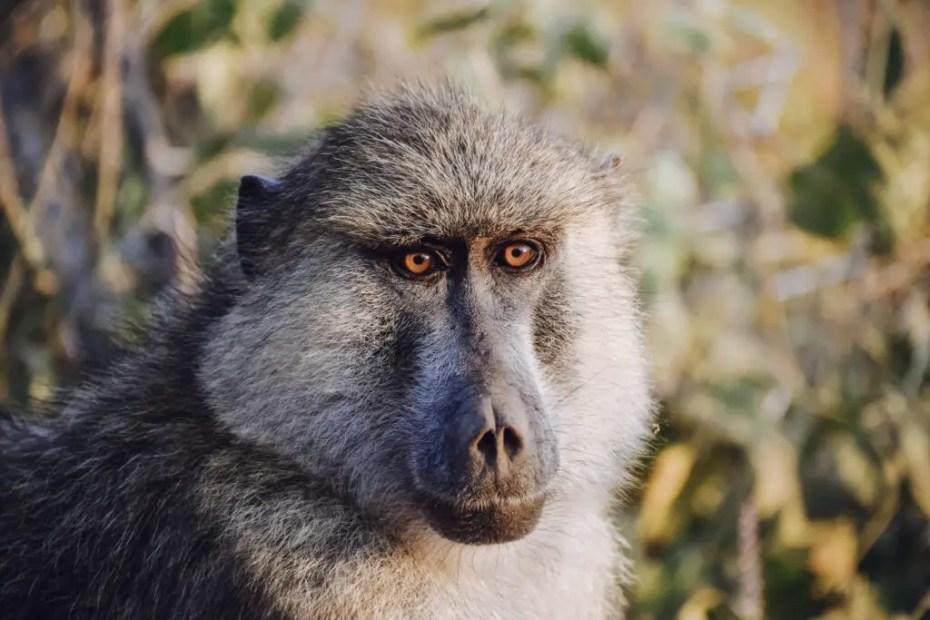 Baboon Amboseli National Park