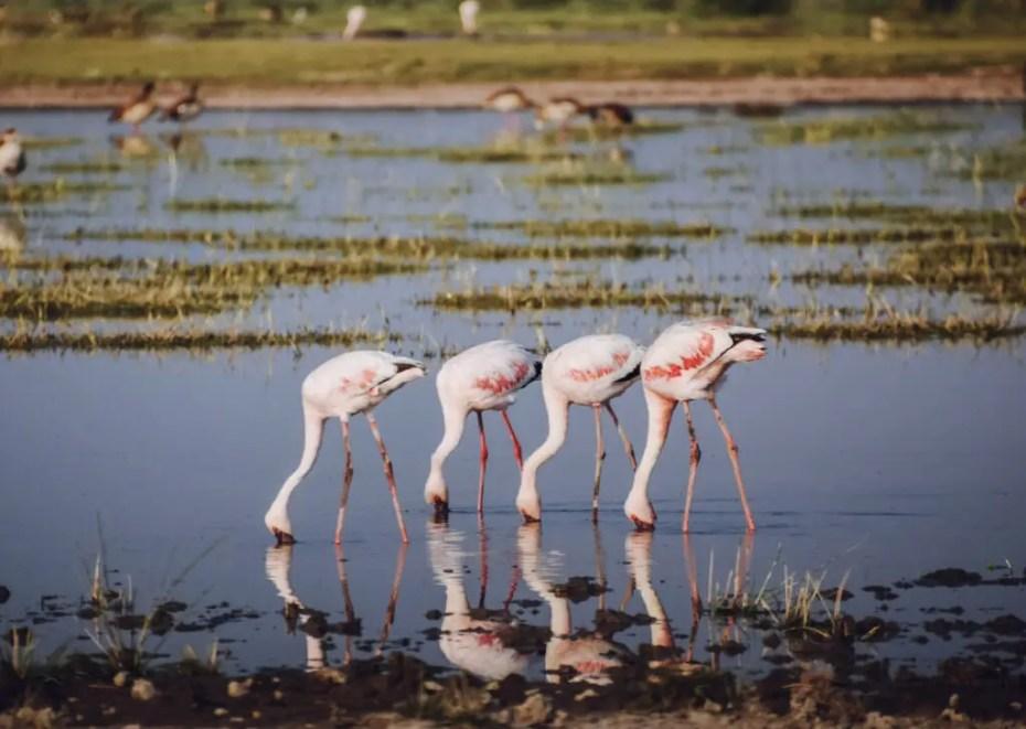 Flamingos at Amboseli National Park