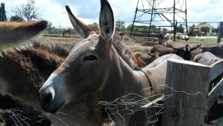 Donkeys at Dar-Mar, Croatia