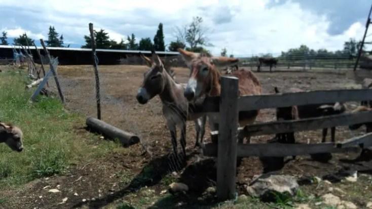 Donkey at Dar-Mar, Croatia