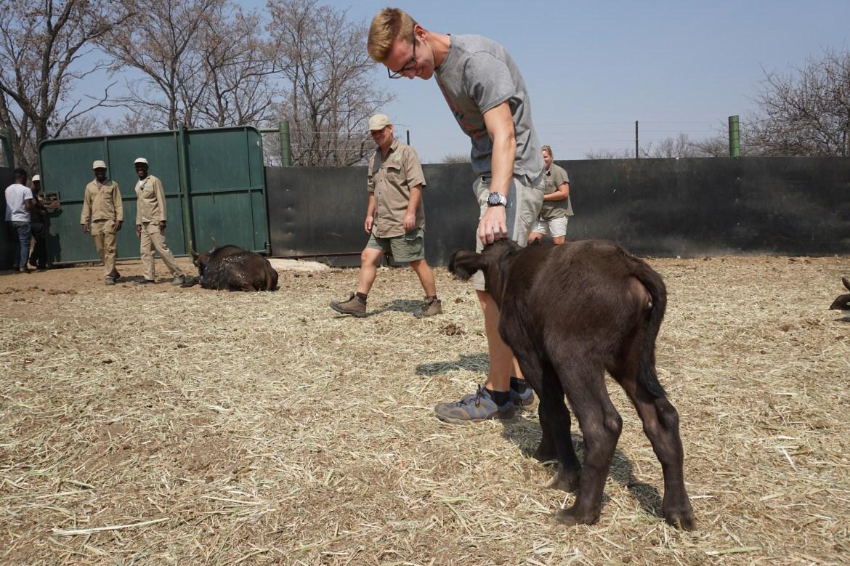 Buffalo, Zuid-Afrika