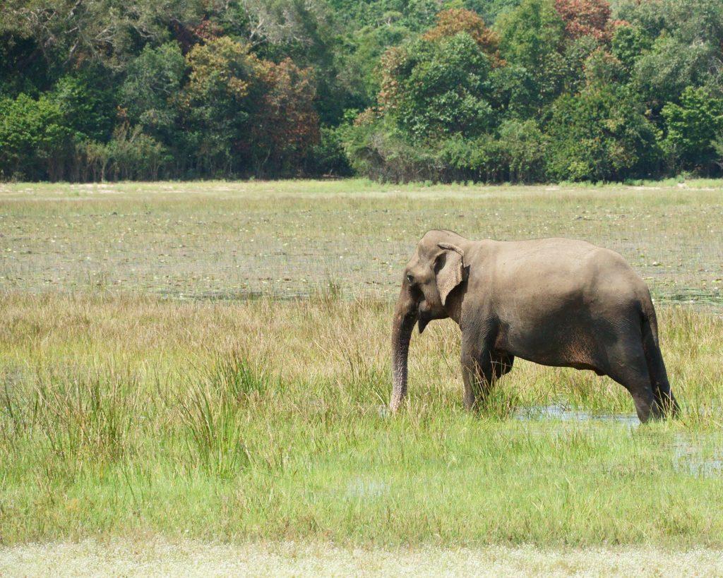 Olifant, Wilpattu Nationaal Park