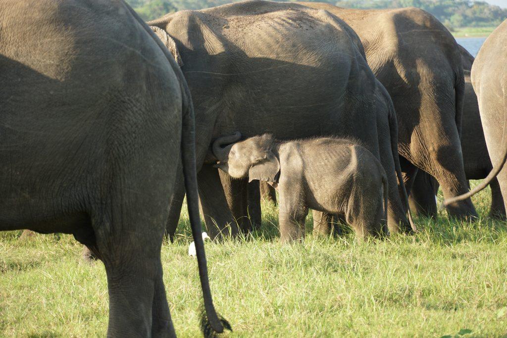 olifanten van Minneriya, Sri Lanka
