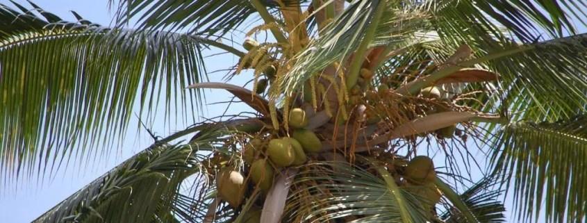 albero di cocco seychelles