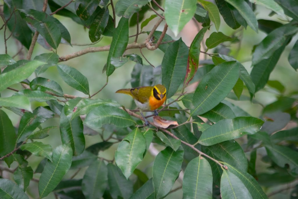uccelli in amazzonia