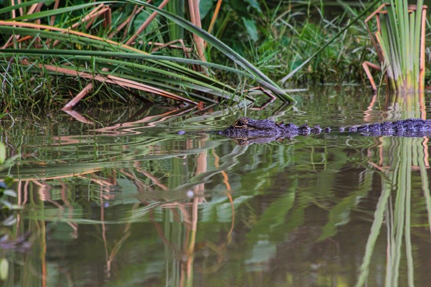 Everglades Caimano