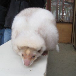 This albino skunk is very rare in the wild.
