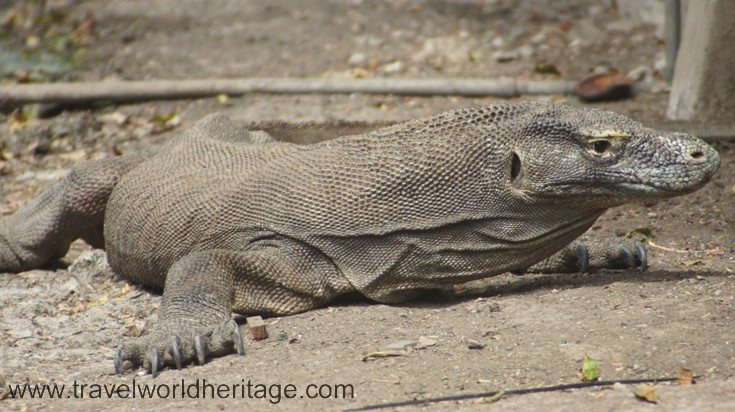 The Komodo dragons are a result of 'island giantism,' an uncontrolled evolutionary growth when a species evolves in isolation, usually on an island. There are about 5000 dragons living on Rinca and Komodo Islands, both part of Komodo National Park.