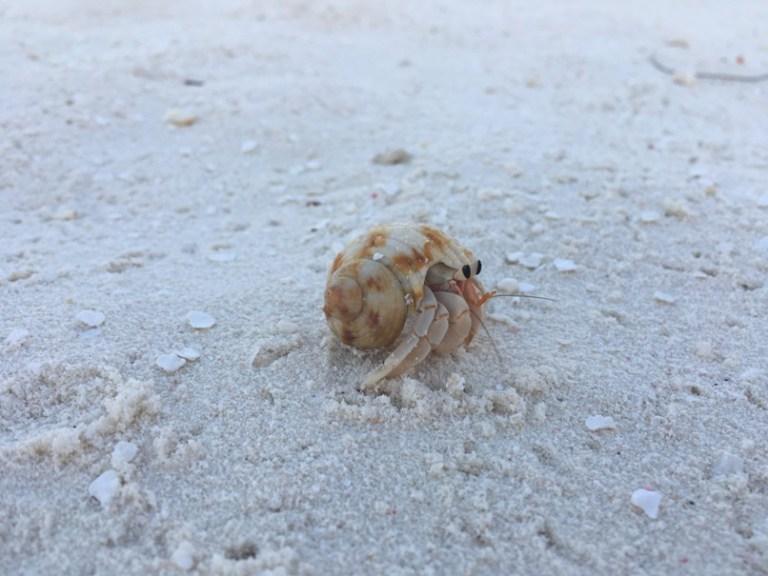 Hermit Crab in Maldives