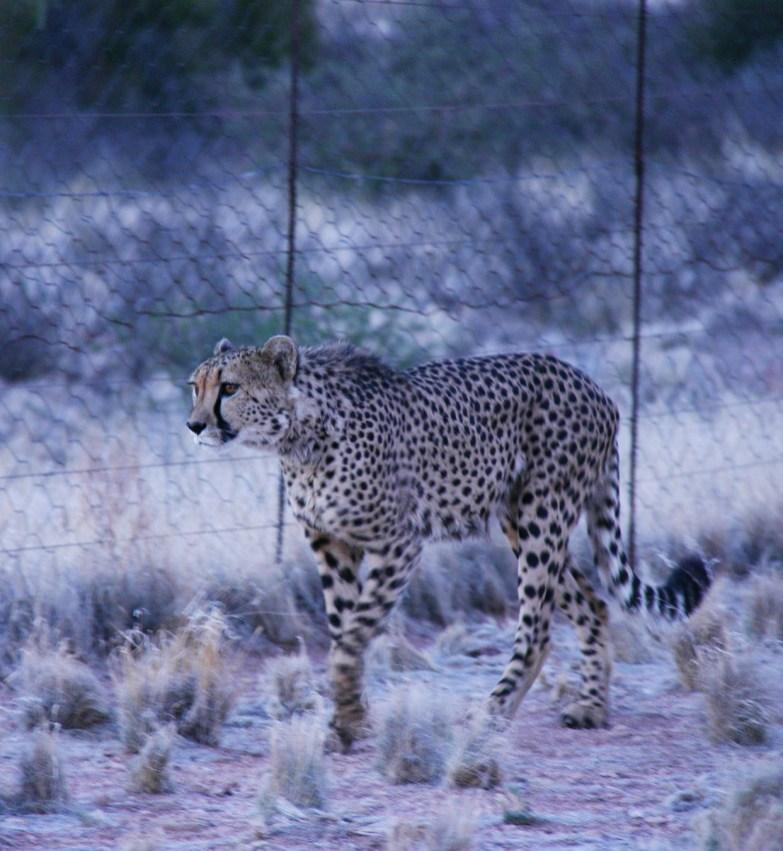 Cheetah walking along the fence. Photo by Maureen Littlejohn.