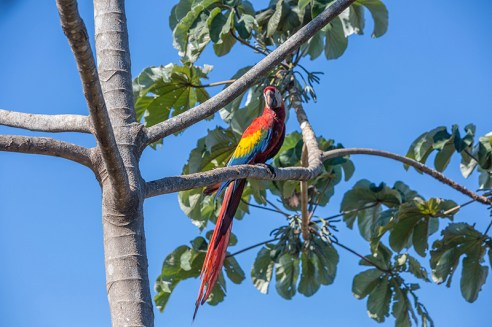 Costa Rica-one macaw in tree