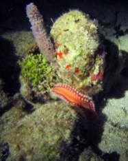 Night Dive Fireworm: Don't touch the fireworm! It has a powerful sting. Photo Credit: Debbra Dunning Brouillette