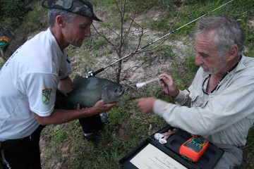 Colonel Angonese and Professor Marc Meyers test the bite strength of a piranha. Photo credit: Jeffrey Lehmann