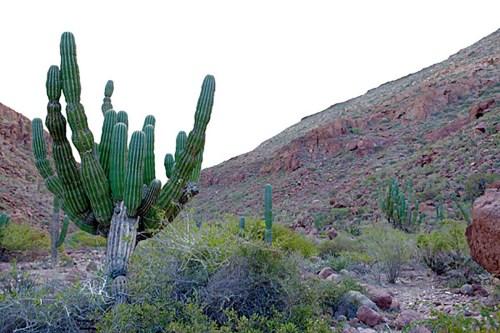 Cactus in Ensenada Grande of Baja California Sur, Mexico