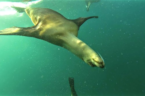 Sea lion swimming under water