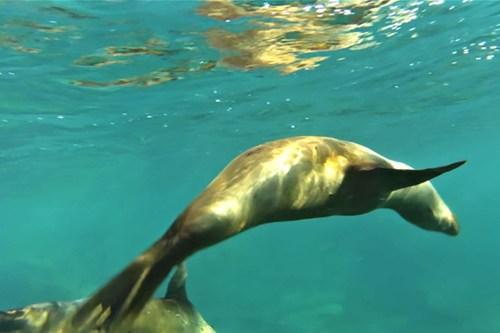 Sea lions under the Sea of Cortez