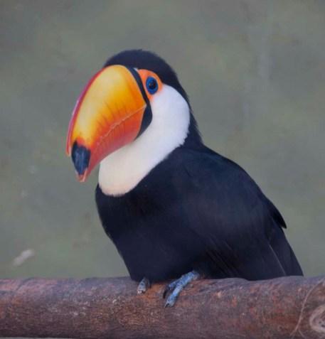 A toucan at Iguazu National Park