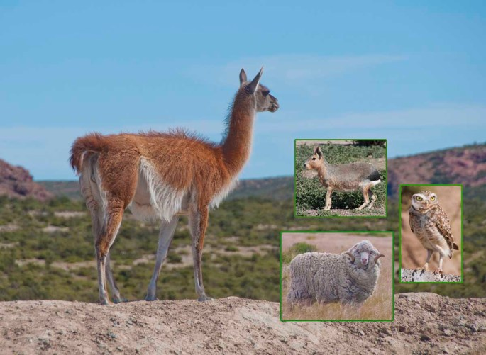 Patagonian residents include the guanaco hare owl and bighorn sheep
