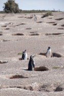 Penguins in their burrow nests at Punto Tombo