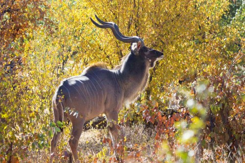 Male Kudu (photo by Tom Schwab)