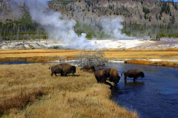 Bison crossing the river in Yellowstone