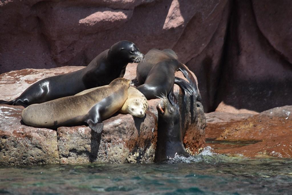 Baja Sea Lions