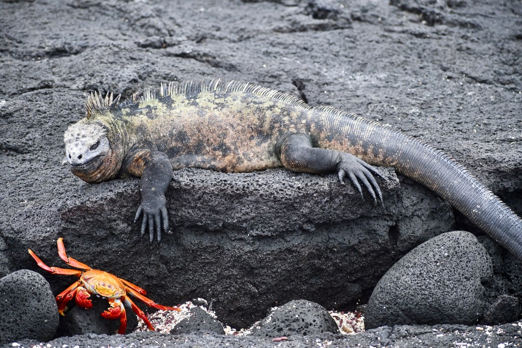 Marine Iguana and Sally Lightfoot Crab seen from the zodiac