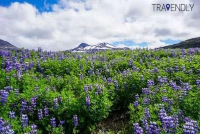Purple lupine flowers in Iceland