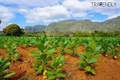 Tobacco fields of rich soil in Vinales Cuba