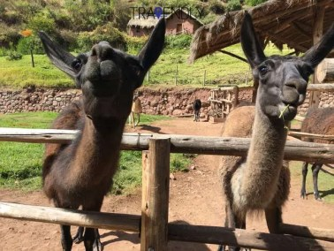 Two adorable llamas at the sanctuary in the Sacred Valley region