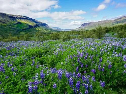 lupine flowers Glymur waterfall Iceland