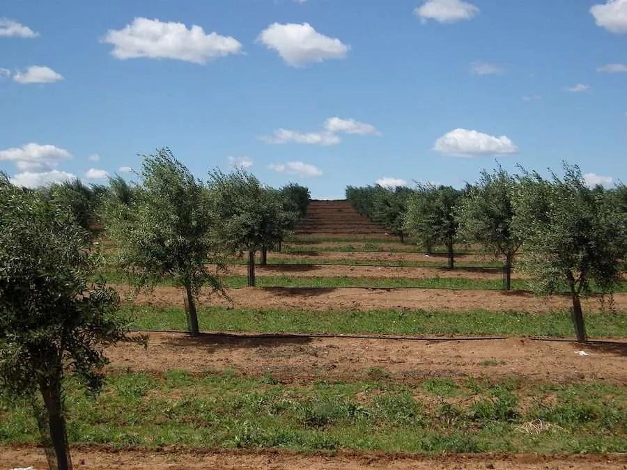 Olive trees in Evora Portugal