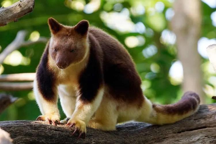 tree kangaroo adorable animal
