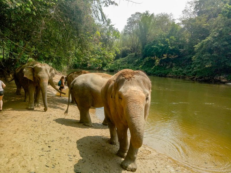 Elephants ready for their bath Thailand