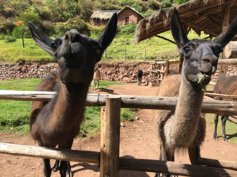 Two llamas in Peru