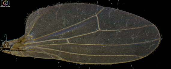 This time, the Cool thing under the microscope is a Flies Wing. This wing was taken from a fly that had landed in a spiders web and had since died (so I did not kill it for the shot), The image is made up of a number of focus stacked images, where were then merged into a panoramic image (4 Focus Stacked Images, Merged Into One Large Image) since the photo was taken by microscopy.
