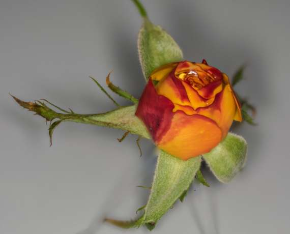 A focus stacked rose.
