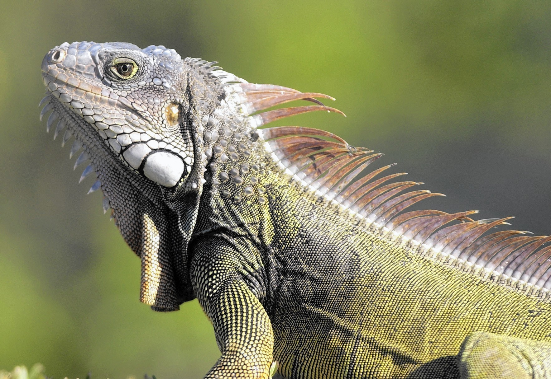 Iguanas Recover From 2010 Cold Snap Sun Sentinel