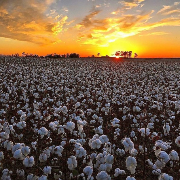 cotton field sunset