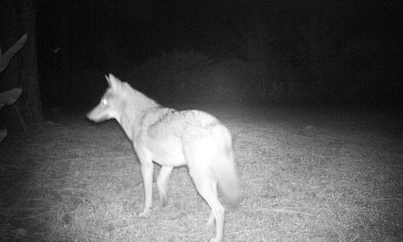 coyote in florida