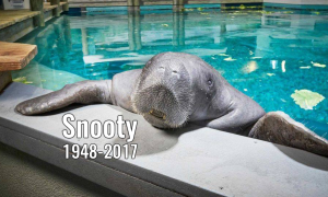 Necropsy said that Snooty died from drowning