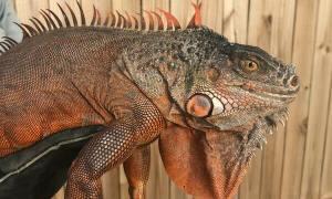 4-foot iguana moves into Jensen Beach laundry room